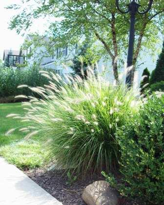 Accessorize your yard with ornamental grasses minnesota for Ornamental grasses that stay green all year