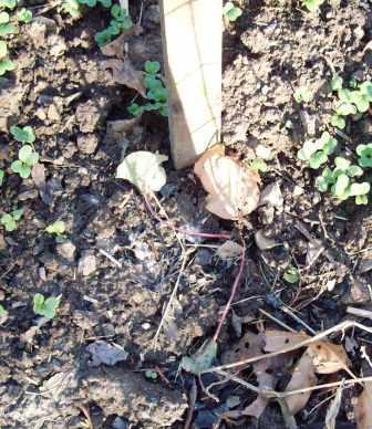 rhubarb 2012.5.4