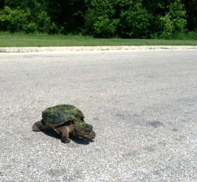 Slow Turtle Crossing >> Slow Turtle Crossing Minnesota Transplant