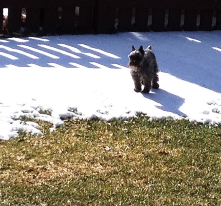 My precious little 8-pound schnauzer is still having to contend with snow in the back yard. Poor thing.