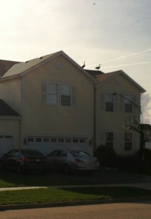 geese on roof 2
