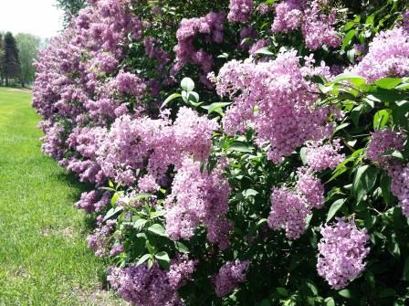 lilacs close