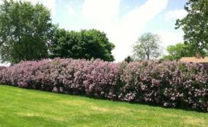 lilacs far away