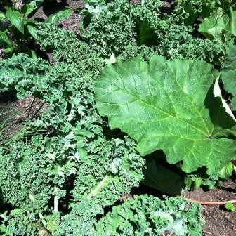 kale and rhubarb