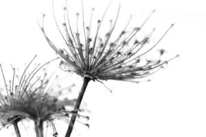like a dandelion disintegrating in the wind