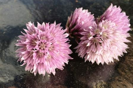 chive flowers 14