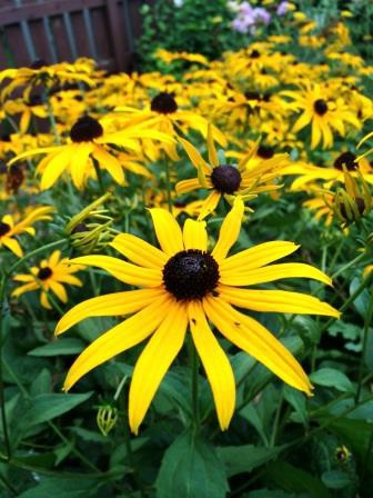 I think these are brown-eyed susans, but I call them brown-eyed Monicas because I have brown eyes.