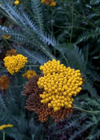 I call this yellow mustard because it reminds me of mustard seeds.