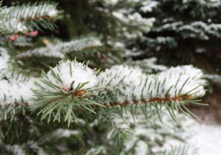pine tree flakes