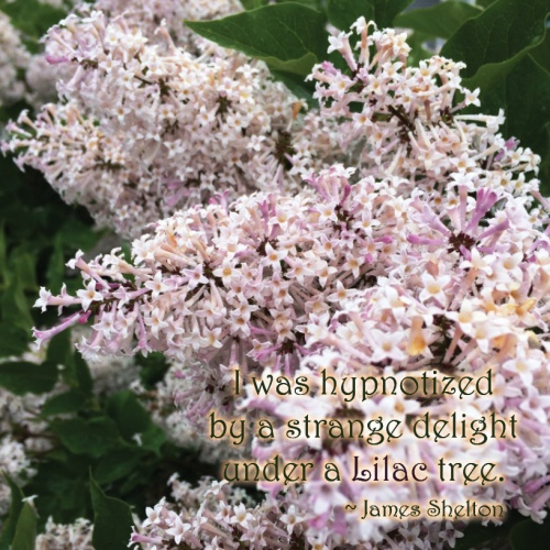 lilacs with saying