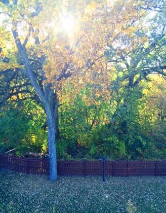 hickory treer 2015