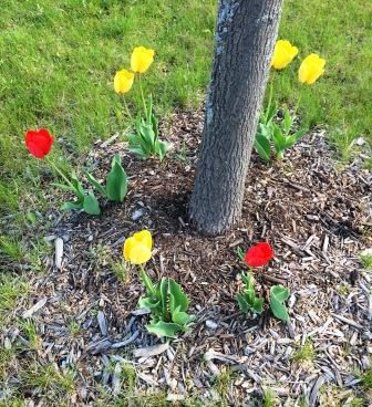 tulips in a circle
