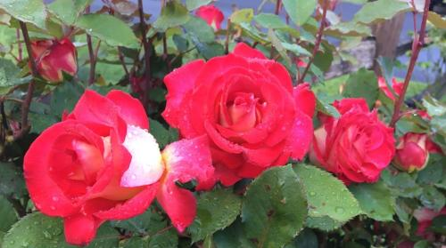 horizontal red roses