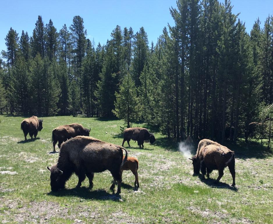 buffalo june 1