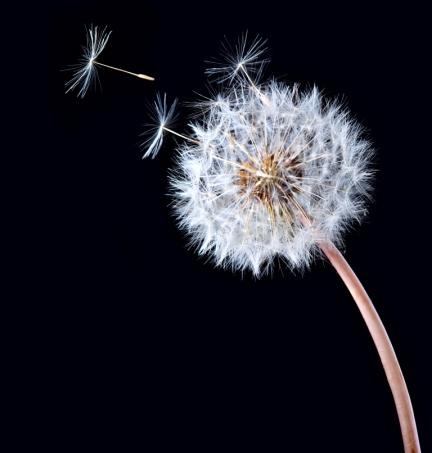 Ash Wednesday dandelion
