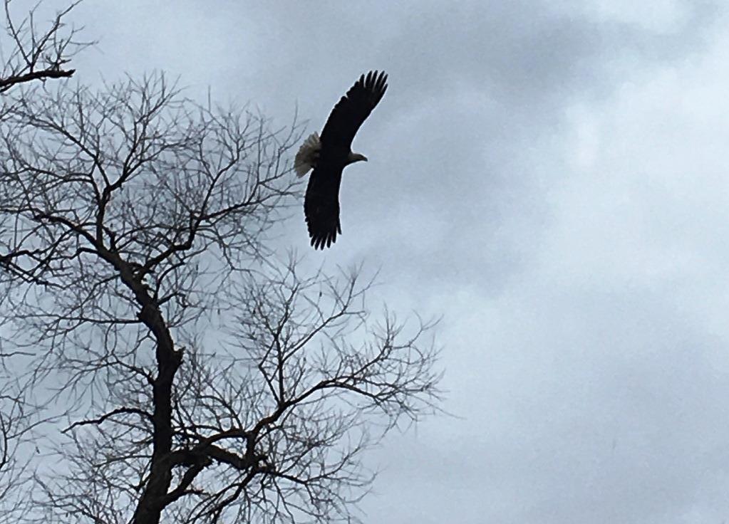 birds eagle flying