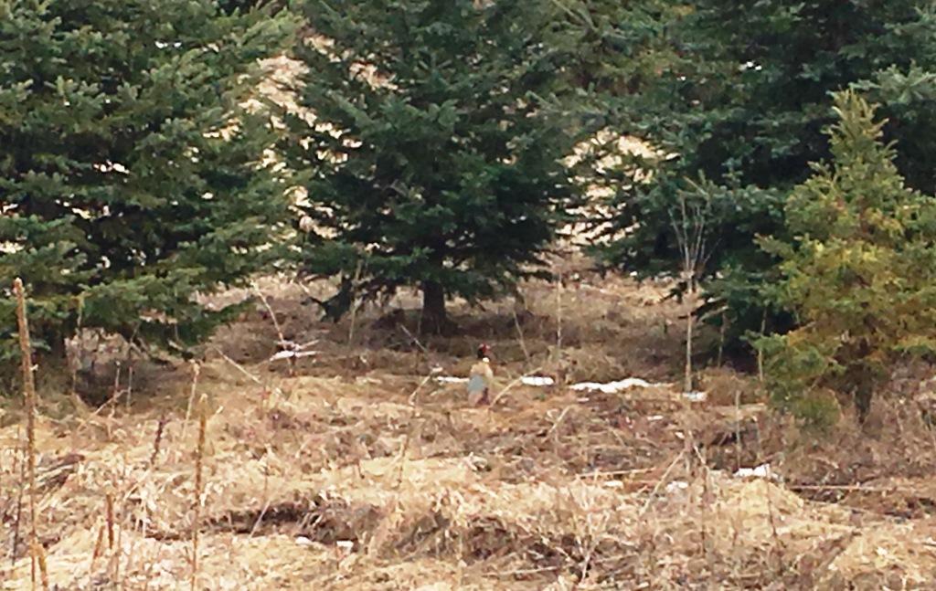 birds pheasant