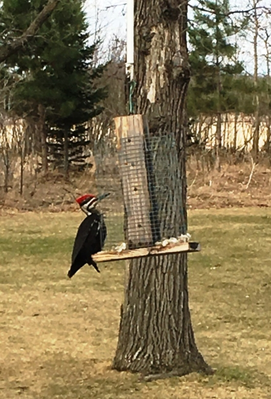 birds woodpecker